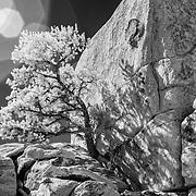 Impossible Juniper - Joshua Tree National Park CA - Infrared Black & White