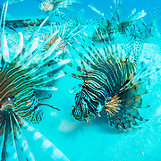 Invasive lionfish (Pterois volitans) have taken over and are wiping out native fish in the Atlantic ocean. The highest densities are in the northern gulf of Mexico. This image was made off Destin, Florida.