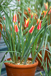 Tulipa 'Tinka' AGM in a terracotta pot in the display greenhouse at West Dean