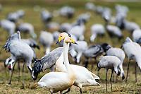 Sweden, Lake Hornborga. Annual migration of Common Cranes. Whooper Swan.