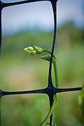Bean climbs up trellis