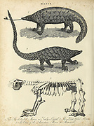 Manis is a genus of South Asian and East Asian pangolins sometimes known as scaly anteaters. Copperplate engraving From the Encyclopaedia Londinensis or, Universal dictionary of arts, sciences, and literature; Volume XIV;  Edited by Wilkes, John. Published in London in 1816