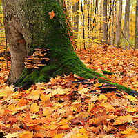 """""""Autumnal Life""""<br /> <br /> Beautiful maple forest in autumn!!<br /> <br /> Fall Foliage by Rachel Cohen"""