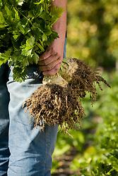 Man holding harvested celeriac