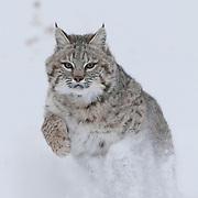 Bobcat running in the Bridger Mountains of Montana. Captive Animal