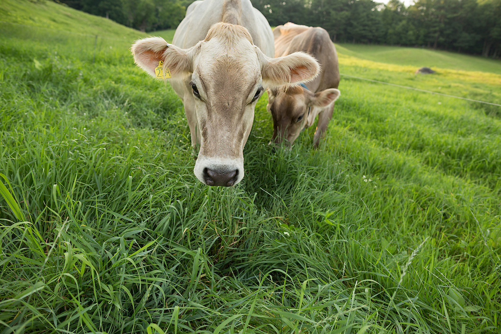 Brown Swiss Cows in a summer meadow