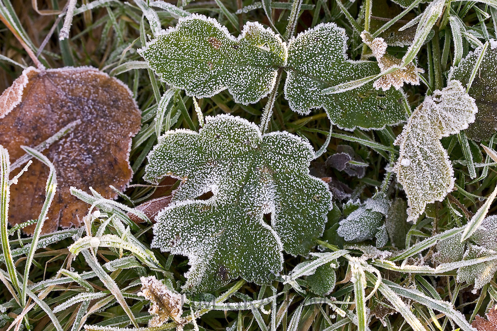 Hoar frost covered autumn leaves and grass, Oxfordshire, UK