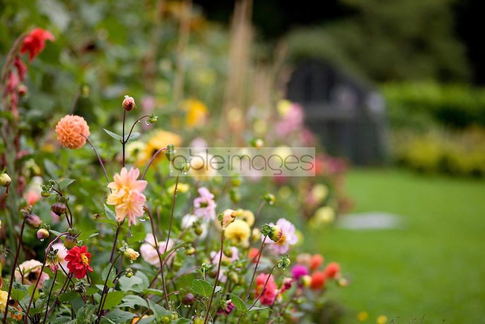 Close up of a bush of dahlias