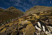 Rockhopper Penguins (Eudyptes chrysocome chrysocome)<br /> West Point Island. Off of West Falkland Island. FALKLAND ISLANDS.<br /> They return in early October to breed after their winter pelagic wandering. The males return about 10 days before the females. They nest in close-packed colonies on cliffs, often in association with Black-browed albatross and King Cormorants. They lay 2 eggs. The first egg is smaller and the chick is rarely reared to fledging. After the chicks fledge in April the colonies are once again deserted. They are the most abundant penguin species in the Falklands. They feed mostly on squid, Lobster Krill and fish.<br /> RANGE: Subantarctic Islands, Cape Horn, Ildefonso Island, Isla Morton, Isla Hornos and Southern Chile, Falkands and a few in South Georgia. Also Tristan de Cunha, Gough, St Paul and Amsterdam Islands, Prince Edward, Marion, Crozet, Kerguelen, Heard, Macquarie, Campbell, Antipodes and Auckland Islands.
