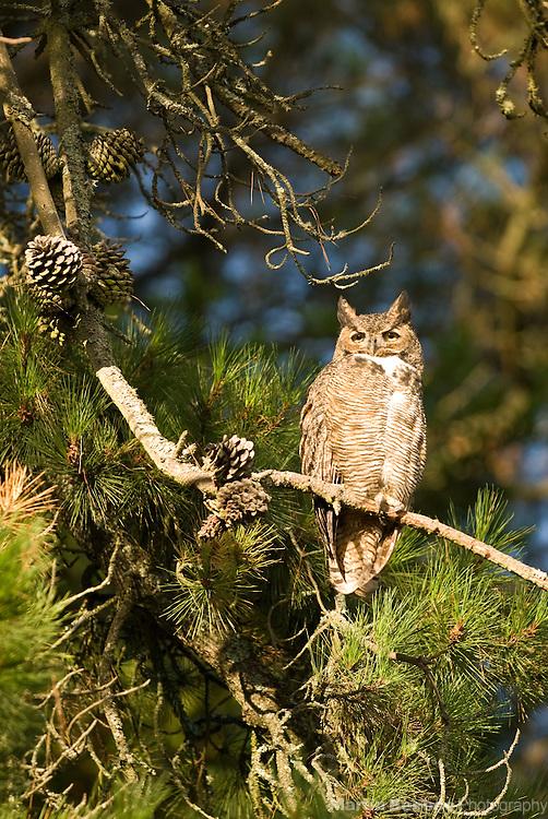 A Great Horned Owl (Bubo virginianus) perches in a pine tree in Tilden Regional Park, Berkeley, California
