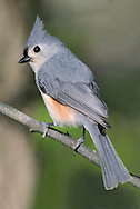 A Cute Little Bird, The Tufted Titmouse, Parus bicolor, Posing In Profile With Crest Extended