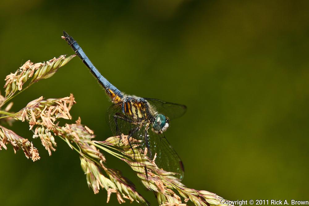 USA, Oregon, Albany, Freeway Ponds County Park,  male Blue Dasher ( Pachydiplax longipennis)