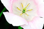 Triumph Tulip 'Rosalie' Keukenhof Spring Tulip Gardens, Lisse, The Netherlands.