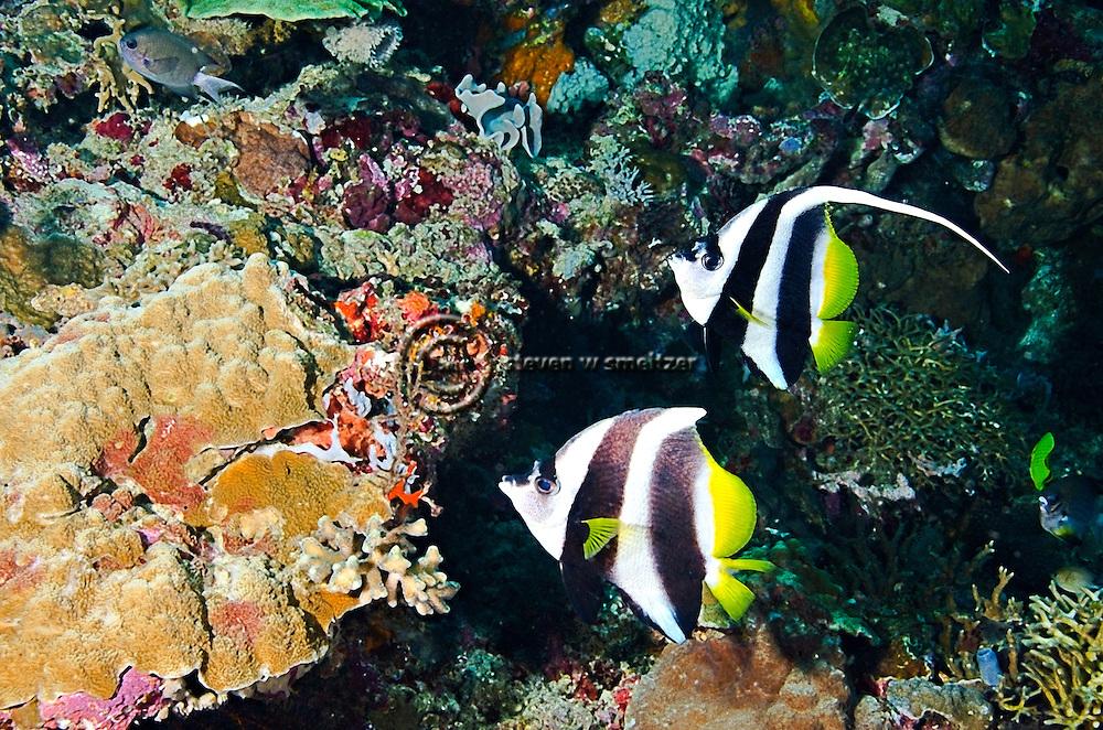 Pennant Coralfish, Heniochus acuminatus, Bali Indonesia