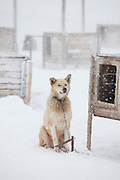 Huskies wait at their kennels to be taken out to pull sleighs, near Longyearbyen, Spitsbergen. Spitsbergen is the largest island of the arctic archipelago Svalbard, of Norway