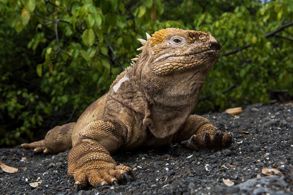 Land Iguana (conolphus subcristatus)<br /> Urbina Bay<br /> Isabela<br /> Galapagos<br /> Ecuador<br /> South America<br /> Endemic