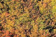Autumn Vine Maple (Acer circinatum) blankets a steep slope in Stevens Canyon, Mount Rainier National Park, Washington, USA