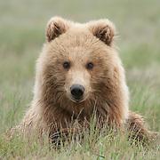 Alaskan brown bear (Ursus middendorffi) cub. Katmai National Park & Preserve, Alaska