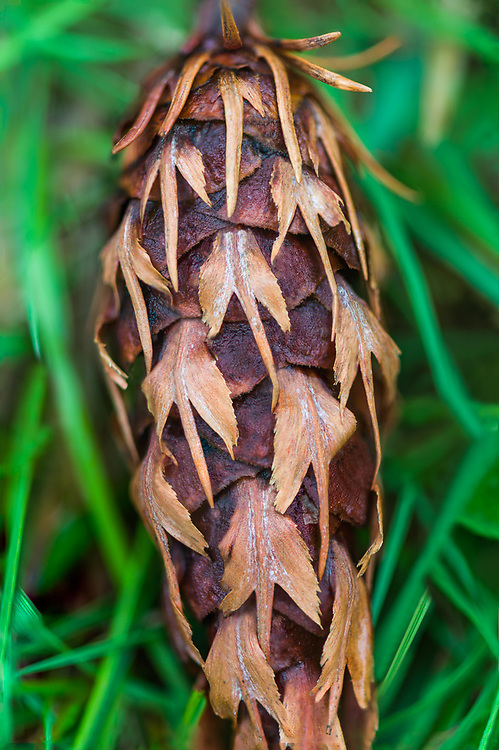 Douglas-fir cone (Pseudotsuga menziesii), April, Clallam County, Olympic Peninsula, Washington, USA