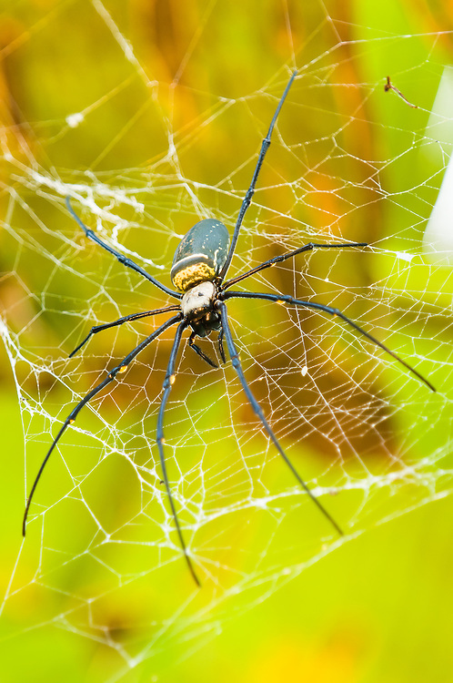 Huge orb web spider (Nephila sp.) on its web beneath banana palm leaves in West Papua, Indonesia