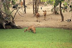 Nyala Drinking Water