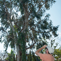 Biologist Dan Cooper checks on a red-tailed hawk nest in a residential neighborhood in Los Angeles, California.