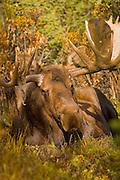 Moose (Alaska-Yukon), Alces alces gigas; bull, resting, closeup, antlers, autumn, taiga forest; Denali National Park, Alaska, ©Craig Brandt, all rights reserved; brandt@mtaonline.net