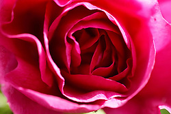 Close-up of rose bloom