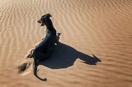 A black Sloughi dog (Arabian greyhound) rests in the sand dunes in the Sahara desert of Morocco.