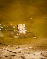 Kermit the Bullfrog in the nearly empty pond. Image taken with a Nikon 1V3 camera and 70-300 mm VR lens