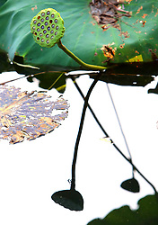 October 8, 2018 - Suzhou, Suzhou, China - Suzhou, CHINA-Withered lotus can be seen at early autumn in Suzhou, east China's Jiangsu Province, October 7th, 2018. (Credit Image: © SIPA Asia via ZUMA Wire)