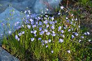 Campanua (Bellflower) growing wild beside Hardanger Fjord, Vestlandet, Norway, Europe