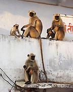 Monkeys wait for food at a ghat in Pushkar, Rajasthan.