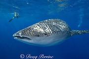whale shark ( Rhincodon typus ) and photographer off Keauhou Bay, Kona Coast of Hawaii Island ( the Big Island ), Hawaiian Islands U.S.A. ( Central Pacific Ocean ) MR 358