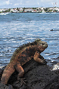 Marine Iguana (Amblyrhynchus cristatus)<br /> Puerto Ayora, Santa Cruz Island, Galapagos Islands<br /> ECUADOR.  South America<br /> ENDEMIC TO THE ISLANDS<br /> These are the only true marine lizard in the world. Although not truely social they are highly gregarious, often spending cool nights in tight clusters. As the sun rizes they can be seen sunning themselves on the rocks to heat up before going into the sea to feed. Their black coloration helps them to absorb the sun's energy and to camourflage on the lava rocks.