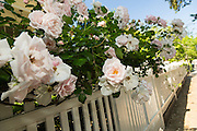 A picket fence with climbing roses on Lamboll Street in historic Charleston, SC.