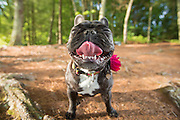 French Bulldog portrait with tongue out.