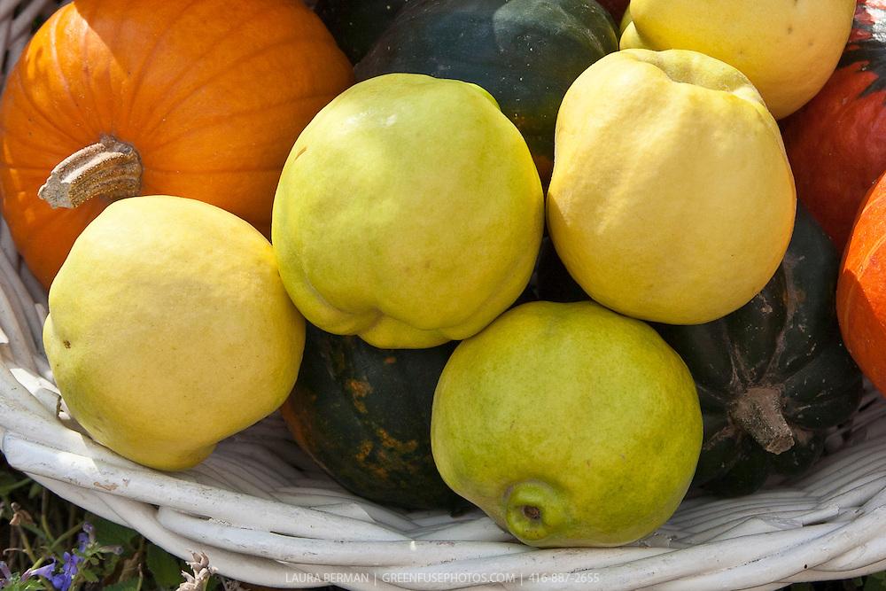 Edible Quince (Cydonia oblonga).