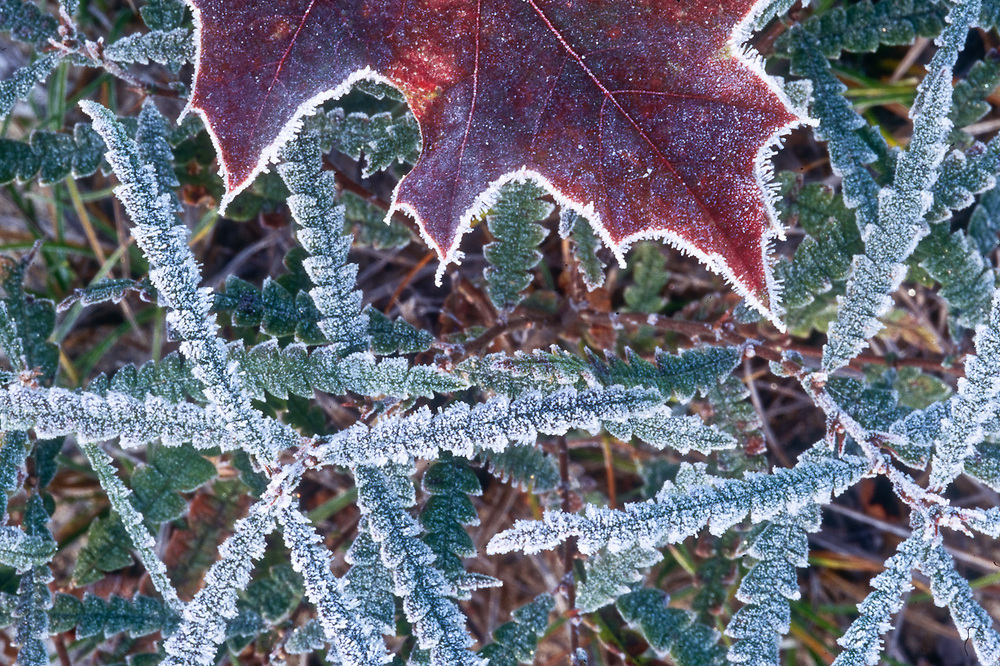 Oak leaf design with frost, autumn, middle Michigan, USA