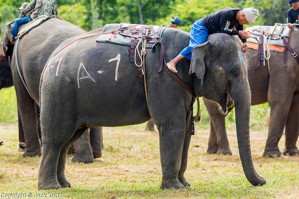 """28 AUGUST 2013 - HUA HIN, PRACHUAP KHIRI KHAN, THAILAND:  A mahout (elephant trainer) relaxes atop his elephant at the King's Cup Elephant Polo Tournament in Hua Hin, Thailand. The tournament's primary sponsor in Anantara Resorts and the tournament is hosted by Anantara Hua Hin. This is the 12th year for the King's Cup Elephant Polo Tournament. The sport of elephant polo started in Nepal in 1982. Proceeds from the King's Cup tournament goes to help rehabilitate elephants rescued from abuse. Each team has three players and three elephants. Matches take place on a pitch (field) 80 meters by 48 meters using standard polo balls. The game is divided into two 7 minute """"chukkas"""" or halves. There are 16 teams in this year's tournament, including one team of transgendered """"ladyboys.""""    PHOTO BY JACK KURTZ"""