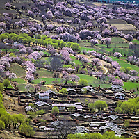 TIBET, CHINA. Flowering fruit trees around village near Pe, beside Yarlung Tsangpo River at upper end of one of earth's deepest gorges.