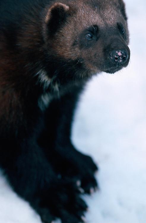 Wolverine, Gulo gulo, captive, Sweden