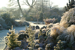 Early sunlight on a frosty winter's morning in John Massey's garden. Conifers and grasses on the rock garden including Stipa tenuissima, Ginkgo biloba and Abies concolor 'Wintergold' in the foreground. Design: John Massey, Ashwood Nurseries