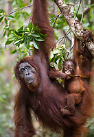 A female Bornean orangutan (Pongo pygmaeus) with her baby, hanging from a tree and eating, Tanjung Puting National Park, Borneo, Indonesia.
