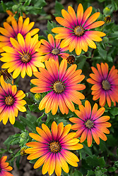 Osteospermum 'Special Erato Purple Glow' - African daisy