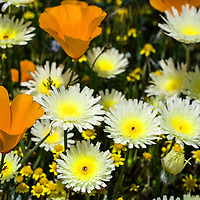 focus on one poppy with wild flowers around it