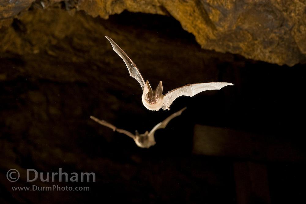 Townsend's big-eared bats (Corynorhinus townsendii) in an abandoned mercury sulfide mine. Central Oregon.