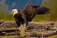 Bald eagle (Haliaeetus leucocephalus), Stikine RIver Delta (Stikine LeConte Wilderness), near Wrangell, Alaska USA