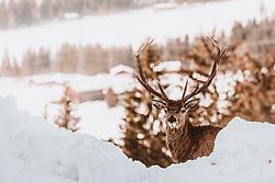 THEMENBILD - ein Hirsch (Rothirsch, Cervus elaphus) mit großem Geweih auf einer schneebedeckten Wiese aufgenommen am 16. Februar 2019 in Maria Alm, Oesterreich // a deer (red deer, Cervus elaphus) with big antlers on a snow-covered meadow in Maria Alm, Austria on 2019/02/16. EXPA Pictures © 2019, PhotoCredit: EXPA/Stefanie Oberhauser