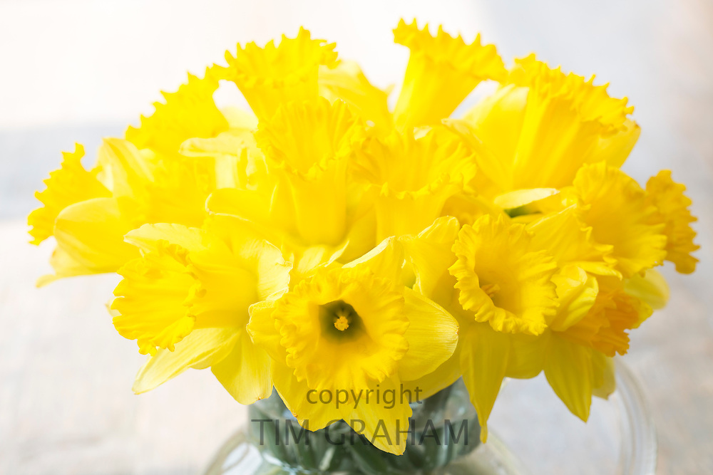 Close up of bouquet of Daffodil spring flower, Narcissus, in glass vase